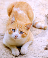 Blue eyed cat by Stavraham