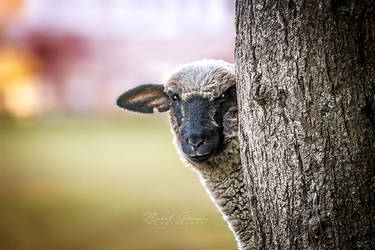 Sheep by MGreinerArt