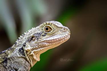Australian water dragon by MGreinerArt