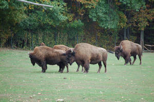 bison 0250 by stocklove