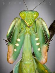 Sphodromantis viridis threat pose by Precarious333