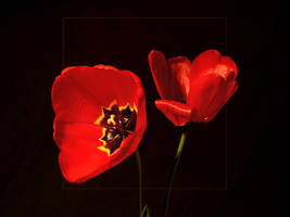 Tulipes Rouges by philcopain