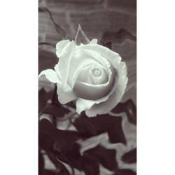 A Rose by HOODZBALLZ