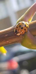 ladybird  by HOODZBALLZ