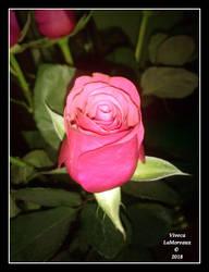 la rose parfaite by VivecaLaMoreaux