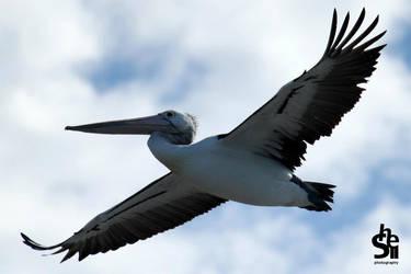 Pelicanaaa! by Shelley-May