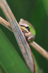 Frog by Shelley-May