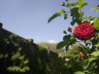 In the Rose garden by eileanrosephotoz