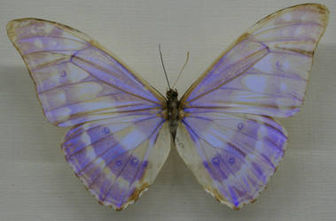 Stock : Purple Butterfly by Deaths-stock