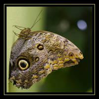 Nightowl - Serpent - Butterfly by schaafflo