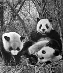 Panda by paullung