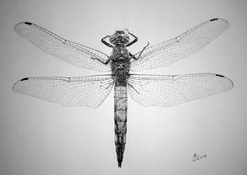 Dragon-fly by paullung