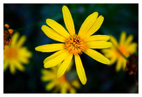 Yellow Flower III by FilipaGrilo