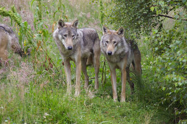 Wolves 1 by Malise-Skyla