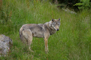 Wolf 4 by Malise-Skyla