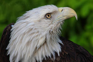 The Eagle Look by Sagittor