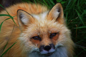 Mister Fox by Sagittor