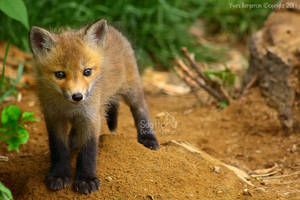 Baby Fox by Sagittor
