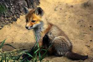 Baby Fox III by Sagittor