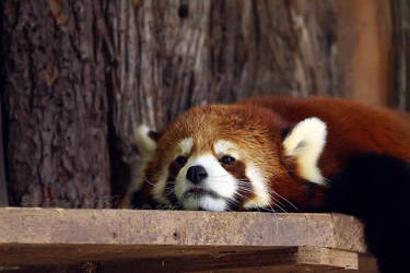 Lazy Panda by Sagittor