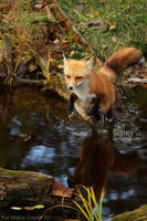 Flying Fox by Sagittor