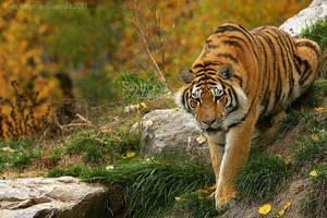 Autumn Tiger by Sagittor