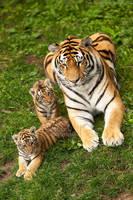 Amurshaya with cubs by Sagittor
