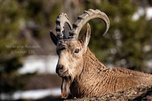 Siberian Ibex by Sagittor