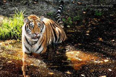 Tiger Pond by Sagittor