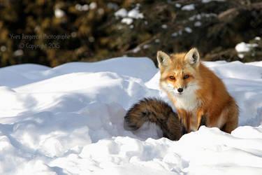 Winter Fox by Sagittor