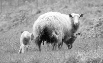 Mother sheep (Flam village) by h2j