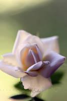 Happy Birthday Rose by 1001G