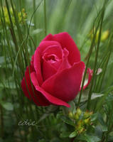 Knock Down Rose II by 1001G