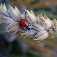 Ladybug by Rosse-San