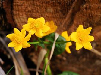 Ranunculus 8695 by spoii