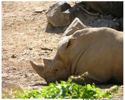 White Rhino by ransim