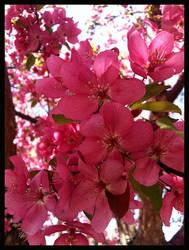Apple Blossoms by Zarayla-Artist