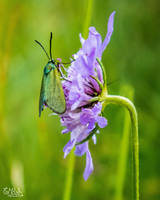 The Forester Moth by EmMelody