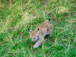 Sweet lynx by Giambu