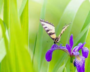Butterfly by RobertKohler