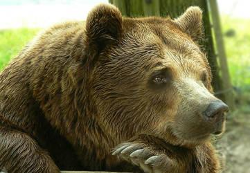 bored bear by mailia