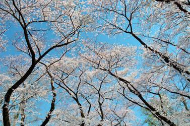 Cherry blossom 2 by Furuhashi335
