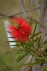 Red flower by VillageLucy