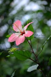 Pink flower by VillageLucy
