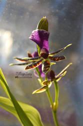 Cattleya by VillageLucy