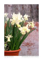 Spring Daffodils by saecula