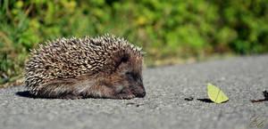hedgehog. by MissPulcher