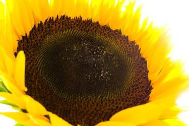 sun flower by janbk