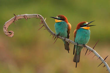 Bee Eaters With Duo by Heenaloves