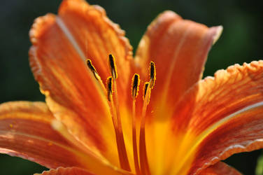 Orange lily (Lilium bulbiferum) II by sekovaniccc